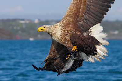 Havørn - White Tailed Eagle