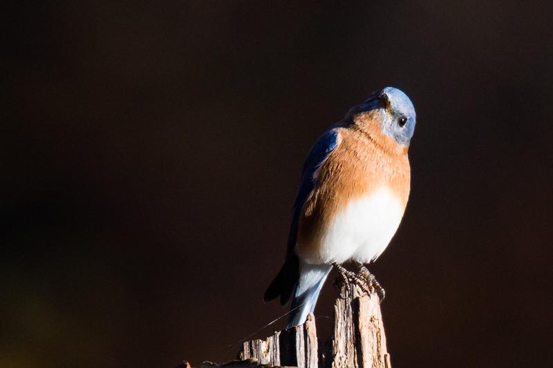 Eastern Bluebird Fall 2019-1.jpg