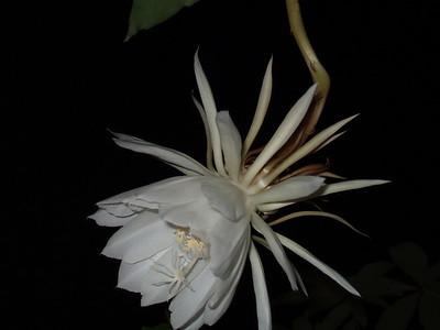 2006.10.04 曇花