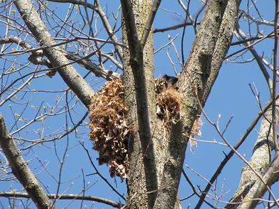20100411 Eastern Gray Squirrel Nest