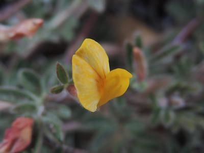 Prostrate Lotus (Acmispon strigosus)
