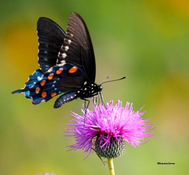 Butterfly 5-31-15 092.jpg