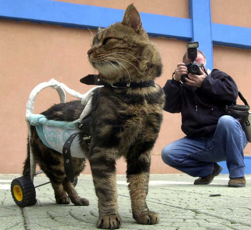 """. A seven-year-old disabled cat named Cici is helped to walk by a device as she participates in \""""Cat Show 2002\"""" in the western Turkish city of Izmir on December 29, 2002. Cici, named \"""" Pet of Day\"""" in the show, was disabled in a traffic accident two months ago.  REUTERS"""