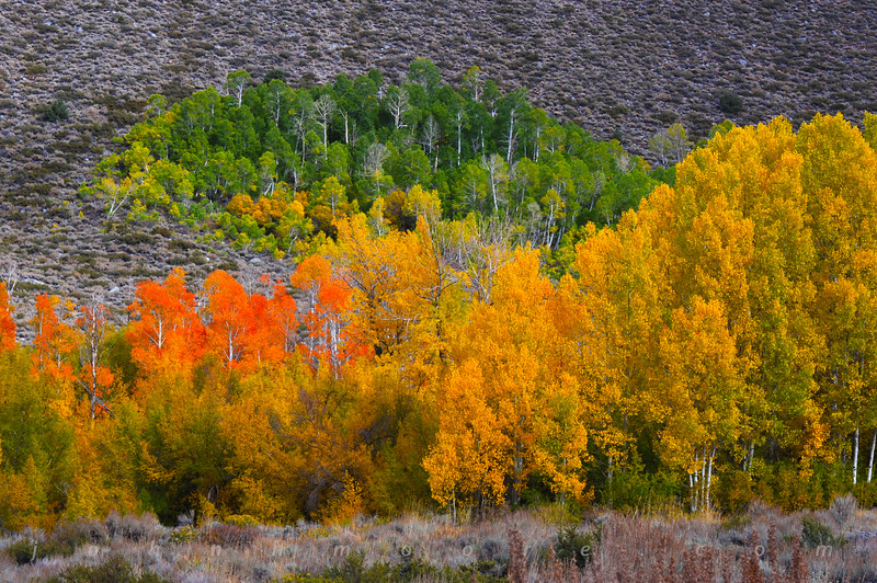 Aspens in all colors