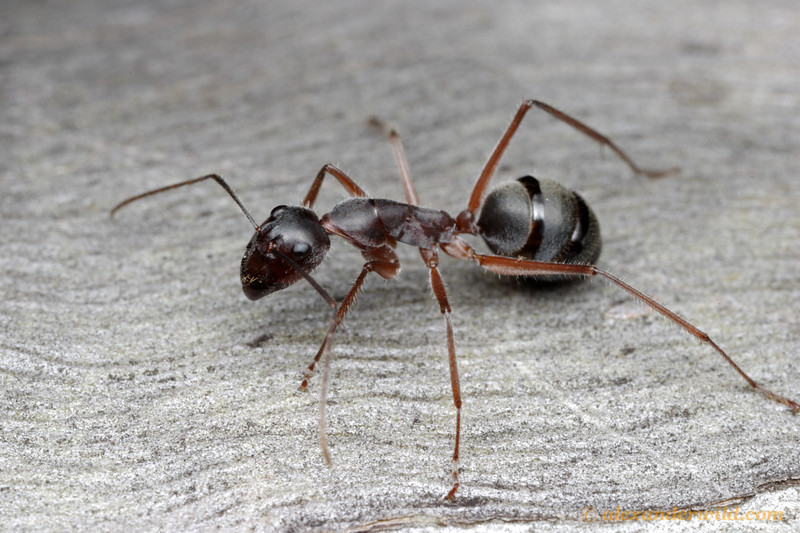 Camponotus gouldianus