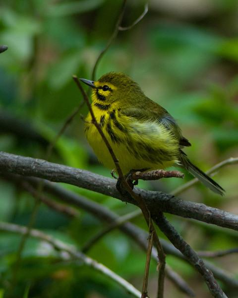 Prairie Warbler  Monticello Park, Alexandria VA