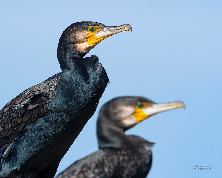 Great Cormorant, Anglesea, VIC, Oct 2018.jpg