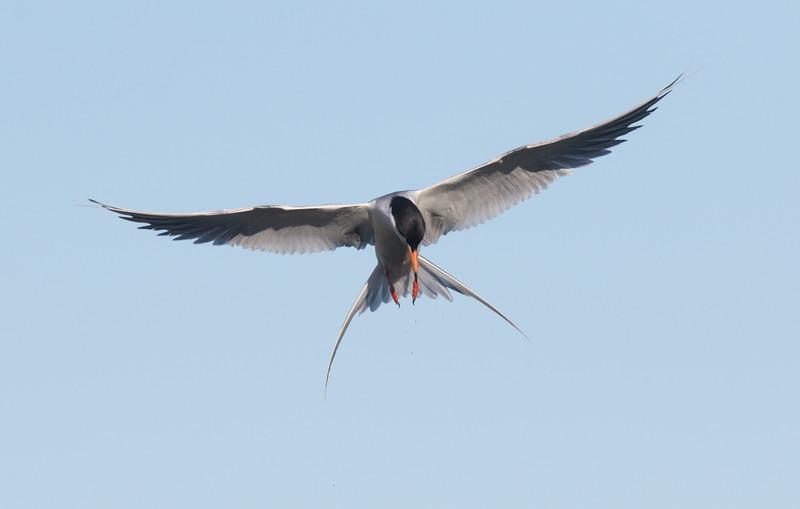 Forster`s Tern San Elijo Lagoon  2020 06 09-1.CR2