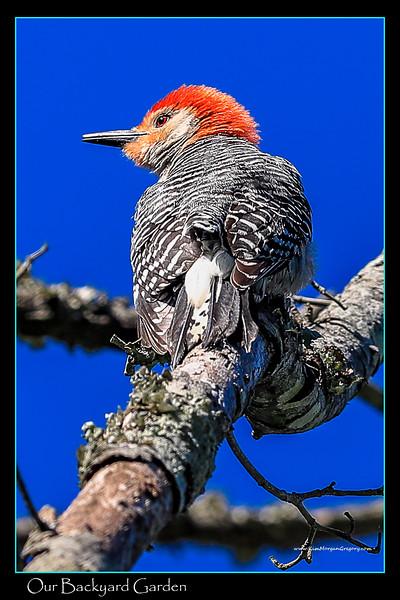 Resident Woodpecker