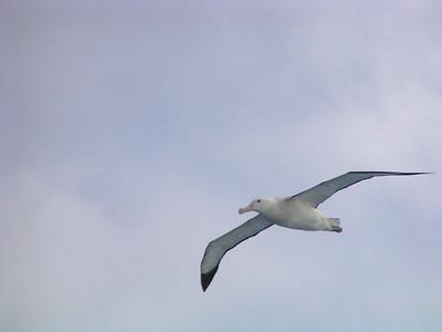 Albatross and Kin