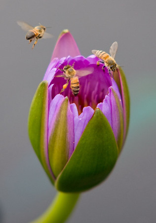 Water Lilly Blossoms and Honey Bees