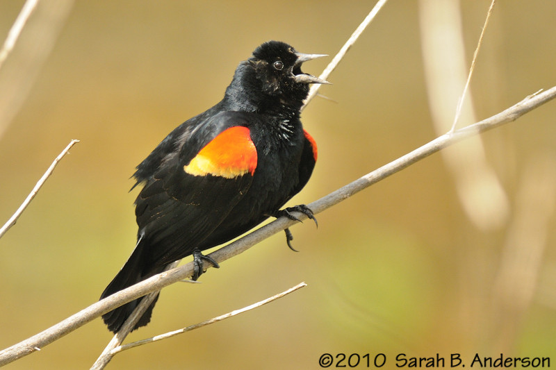 Male Red-winged Blackbird, singing