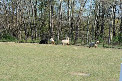 Tuesday Morning P/T Sheep