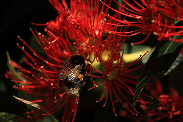 Bumble bee on New Zealand Southern Rata