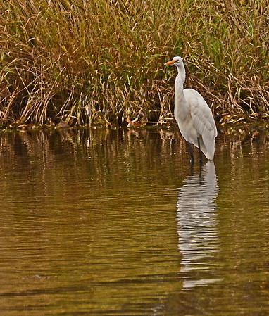 Egret, Ducks, Gulls, Nora and a Goat, 11-12-15