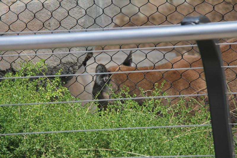 20170807-005 - San Diego Zoo - Mountain Lion.JPG