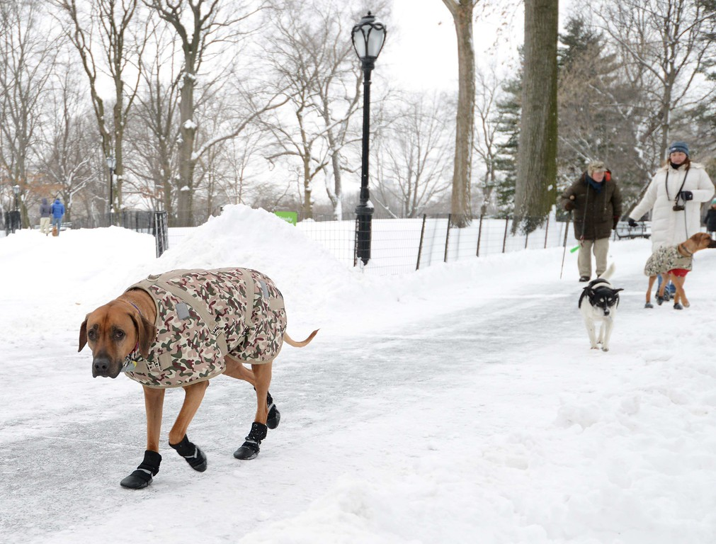 ". Orion (L) walks through Central Park after a snowstorm hit New York January 27, 2015. Travel bans were lifted and limited public transport resumed in New York on Tuesday as a powerful winter storm and strong winds dumped perilous snow across the northeastern United States. New York city woke up to less snow than forecast, but was eerily quiet as the National Weather Service warned of life-threatening conditions along the coast from Long Island to New England. Officials launched a vigorous defense of the blanket travel bans and rail closures, saying it had been prudent to protect lives, protect equipment and get services back to normal more quickly. ""You plan the best you can and you lead toward safety,\"" New York state Governor Andrew Cuomo told a news conference under a barrage of questioning. AFP PHOTO/Stan HONDA/AFP/Getty Images"