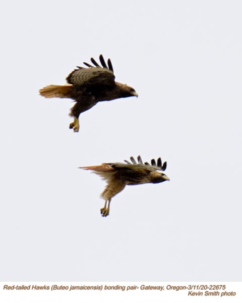 Red-tailed Hawks P22675.jpg
