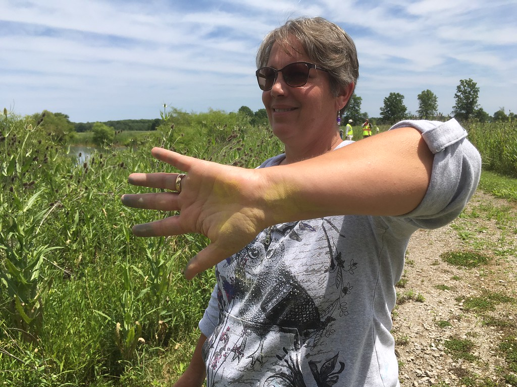 . Richard Payerchin - The Morning Journal <br> Lyn Ickes, watershed specialist in the Lorain County Community Development Department, shows her hand and forearm stained yellow with cattail pollen at the Margaret Peak Nature Preserve on June 28, 2017. The Eaton Township preserve is a hidden gem for birders, hikers and anyone who wants to experience the outdoors.