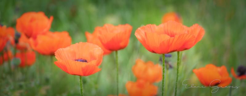 Poppies-1-3.jpg