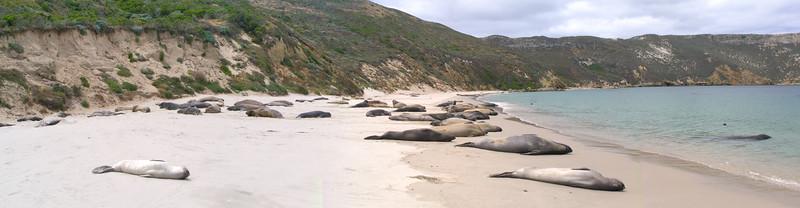 San Miguel Elephant Seal Beach Channel Islands