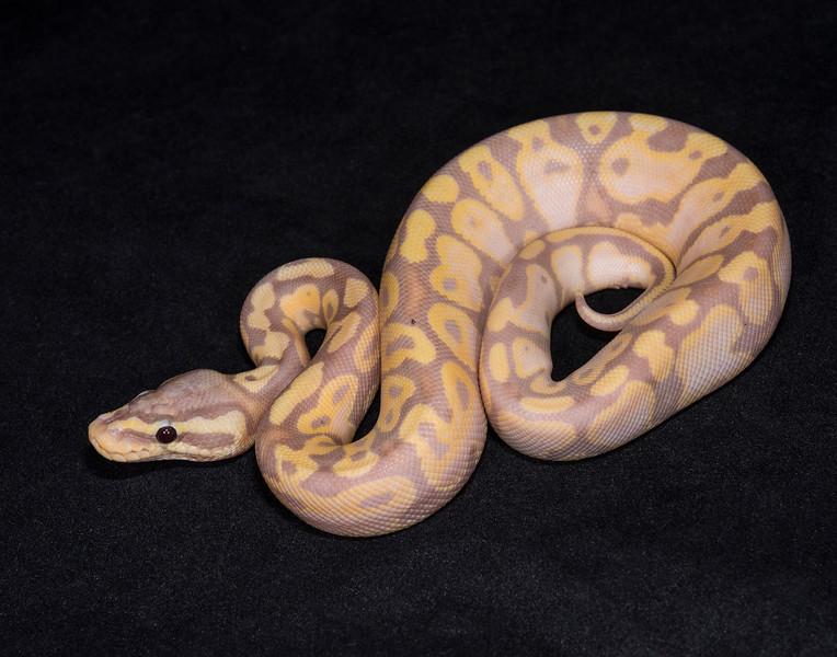 #1711, Male Banana Pastel, $200