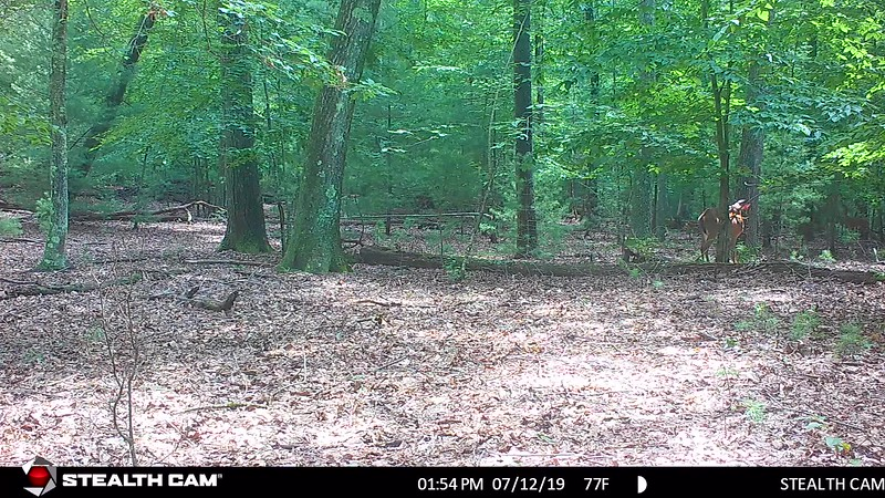7-12-19 through 8-16-19...some decent doe and fawn videos....DANGLING BRANCH...274 videos, memory card was 59GB full