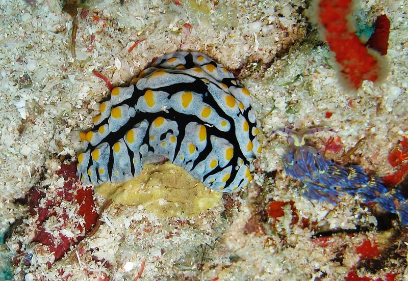 IMG_7582Ar_Sea Slug (Phyllidia sp).JPG