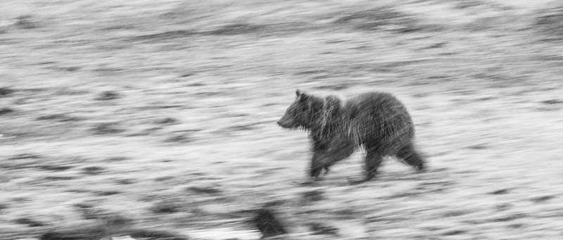 Grizzly sow and cub Yellowstone National Park WY IMG_0593.jpg