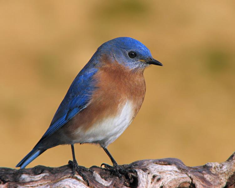 bluebird_2231.jpg