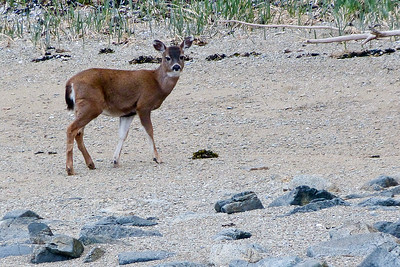 Young Sitka Black-Tailed Deer  May 2014, Cynthia Meyer, Chichagof Island, Alaska