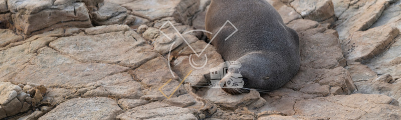 New Zealand fur seal cub relaxed during a cloudy sunrise at Shag Point, New Zealand.