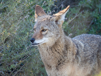 Coyote March 6 2018