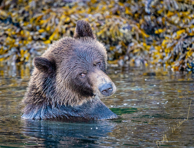 Female grizzly bear having a bath along the shoreline at low tide in Knight Inlet, First Nations Territory, British Columbia, Canada
