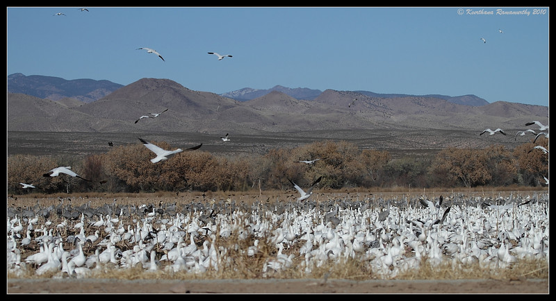 Flock of Snow Geese, Bosque Del Apache, Socorro, New Mexico, November 2010