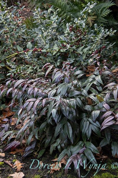 Leucothoe fontanesiana 'Zeblid' Scarletta - Sarcococca ruscifolia winter color_0612.jpg