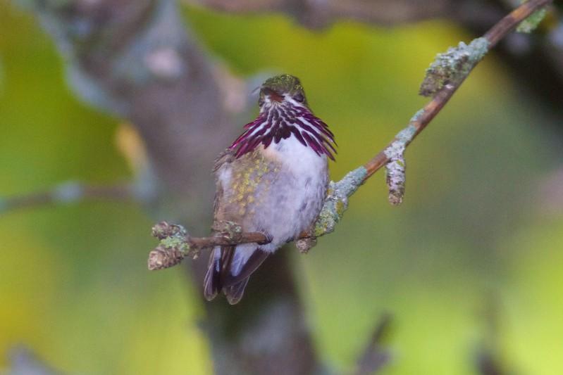 Calliope Hummingbird male Park Point Duluth MN IMG_1918.jpg
