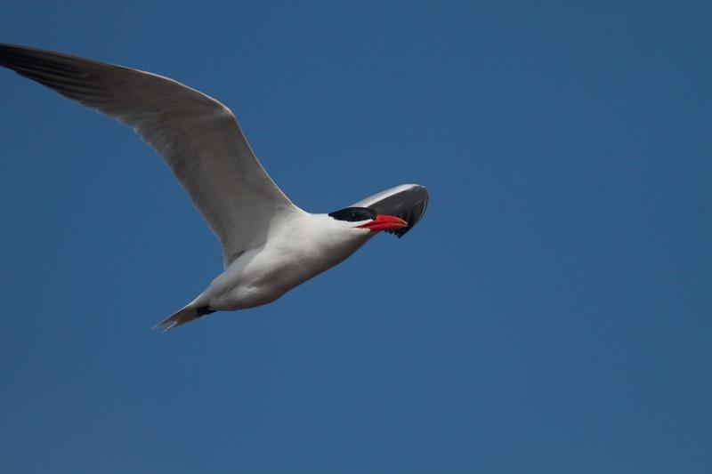 Caspian Tern Wisconsin Point Superior WI IMG_1511.jpg