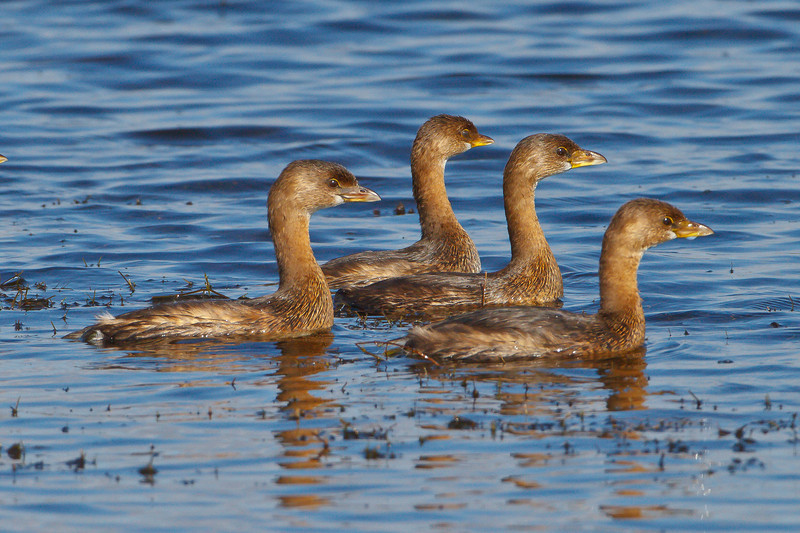 Pied-billed Grebes, Viera Wetlands