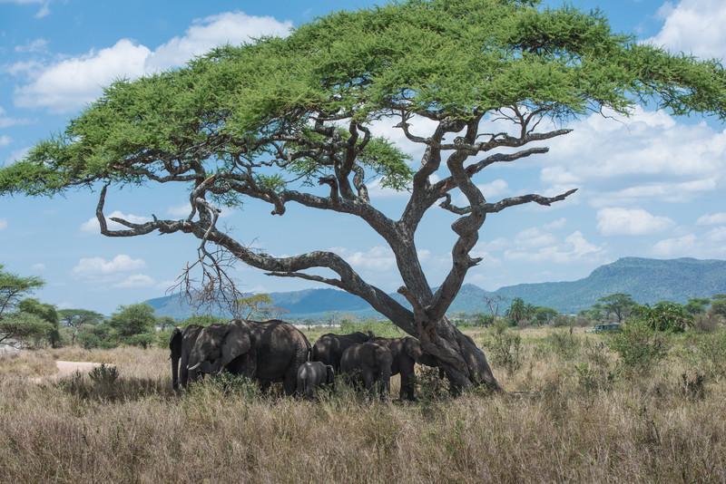 Elelphants in the Shade