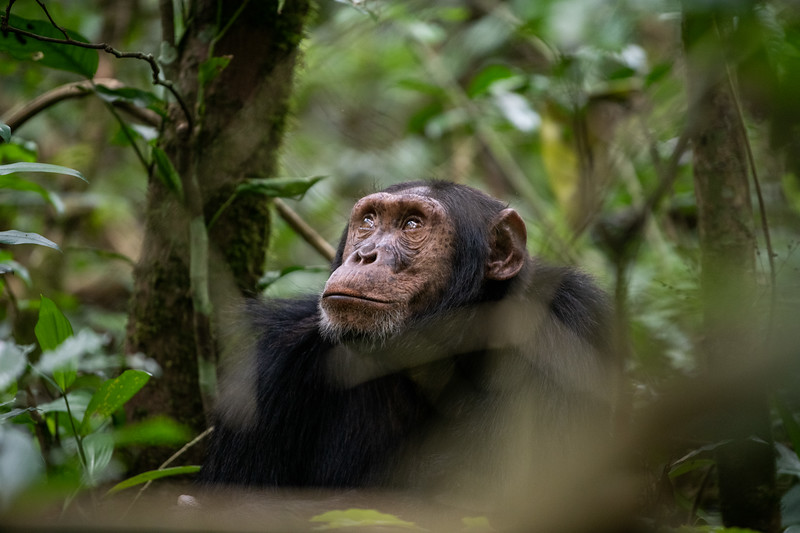 Uganda_T_Chimps-682.jpg