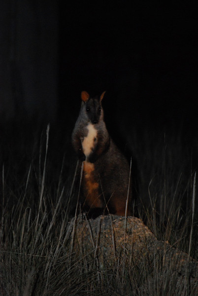 Black-tailed Rock Wallaby.JPG