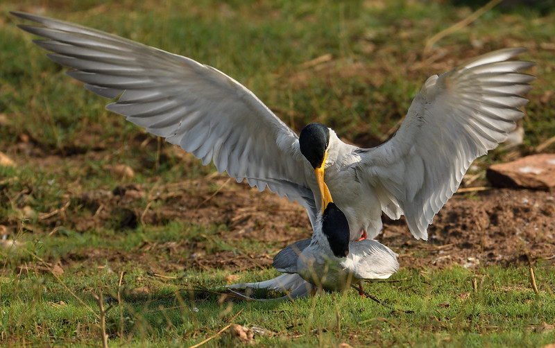 Riverterns-mating-bhadra.jpg
