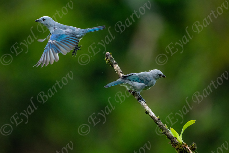 Blue- Gray Tanager (Thraupis episcopus) EYL05368.jpg