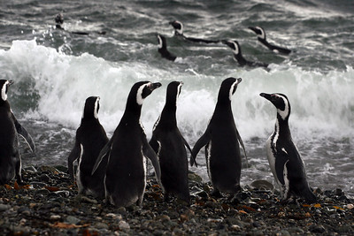 Chile Penguins