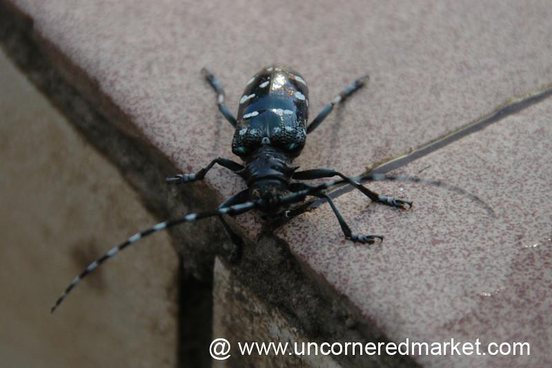Polkadotted Beetle - Yuanyang, China