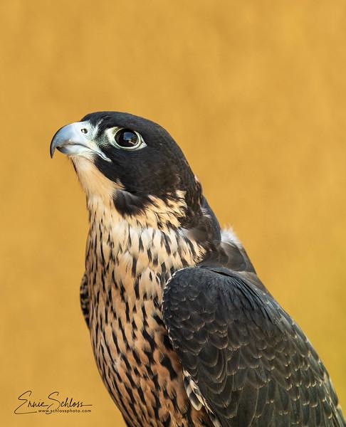 Audubon 8-121-2918d-.jpg