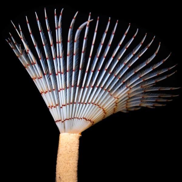 Sabella pavonina