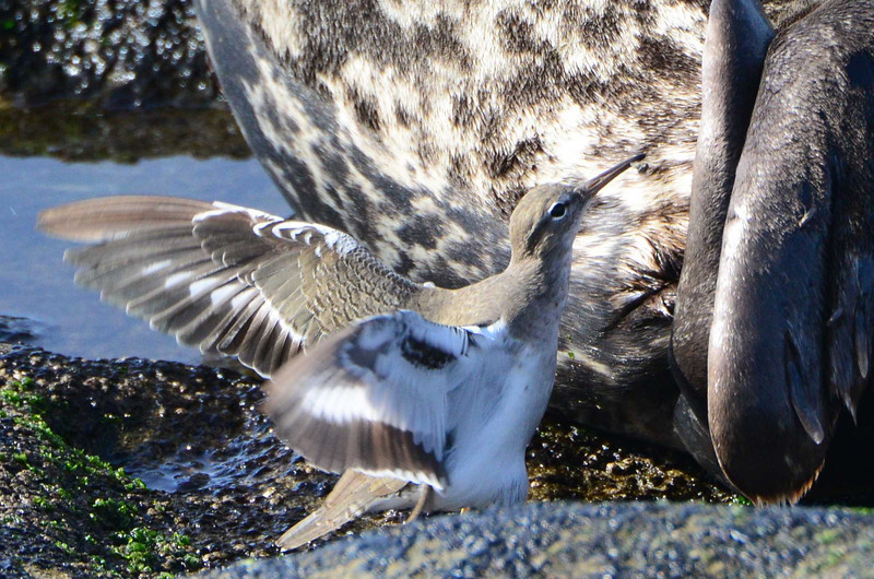 Spotted Sandpiper eating bugs off a Seal - 12/1/13 - La Jolla Cove