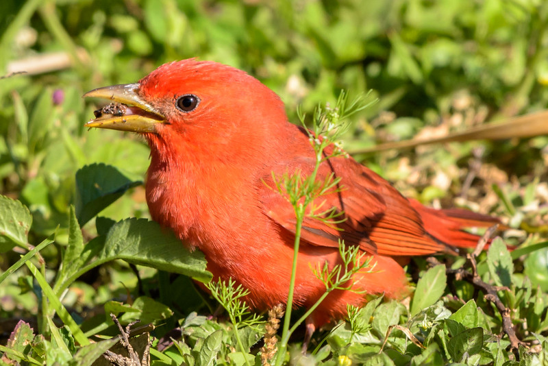 Summer Tanager Eating